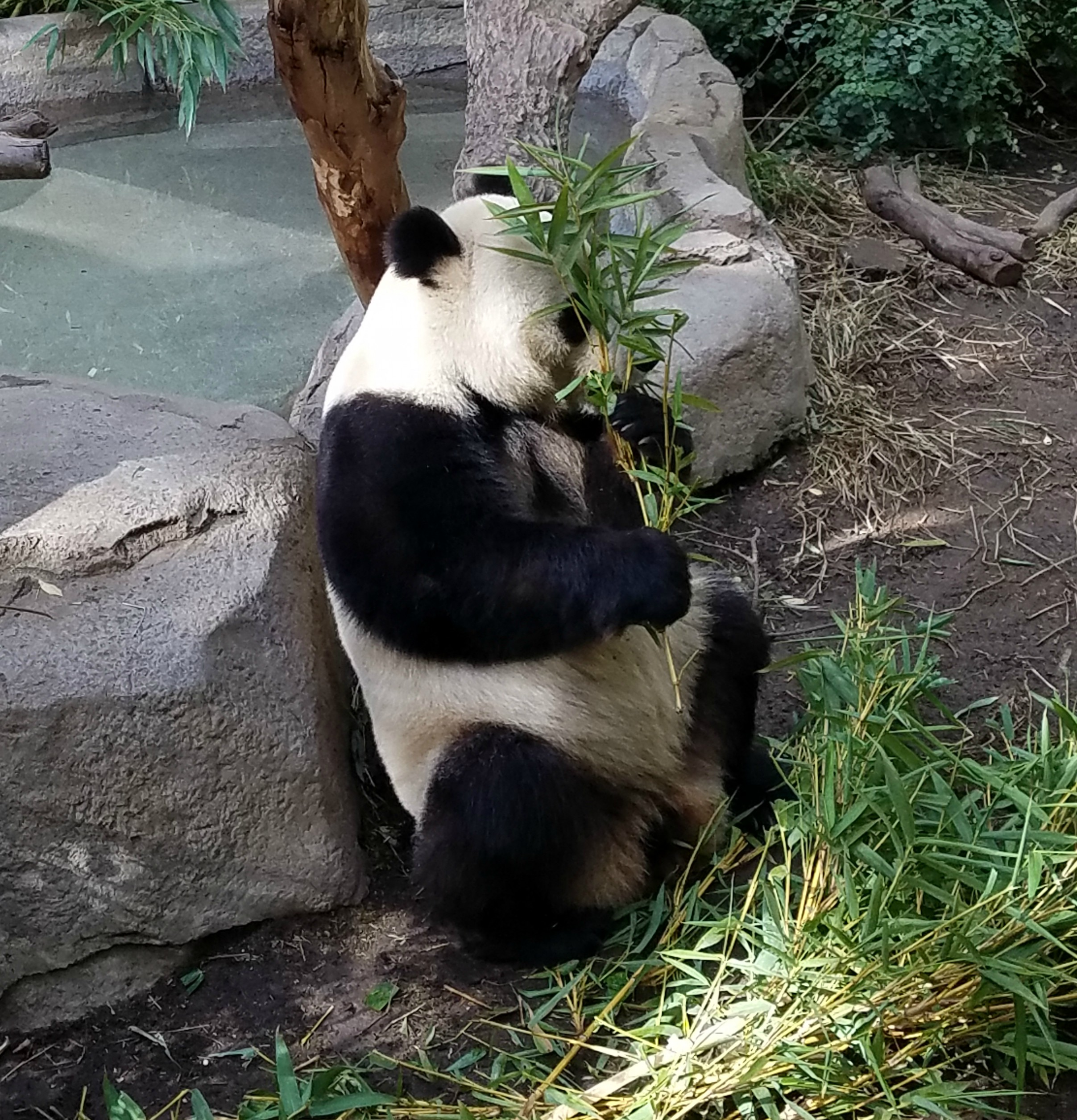 panda playing peekaboo
